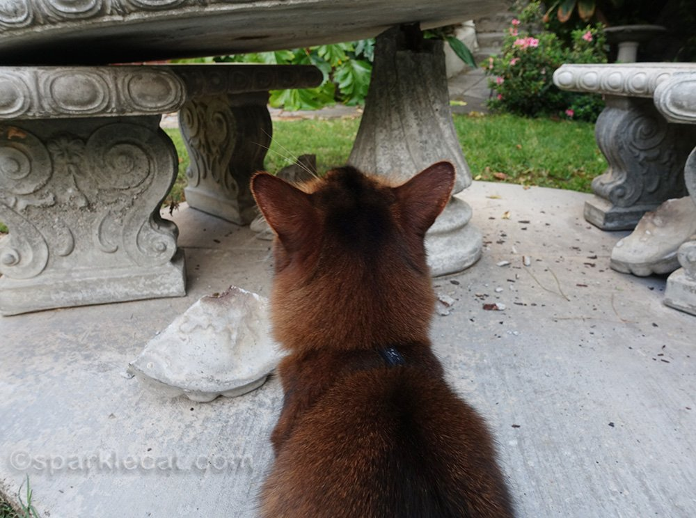 somali cat stares at broken concrete table