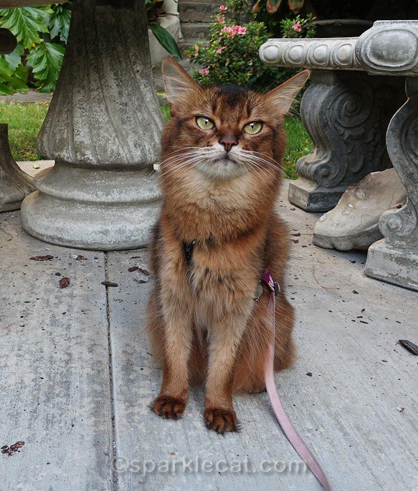 somali cat upset about broken concrete table