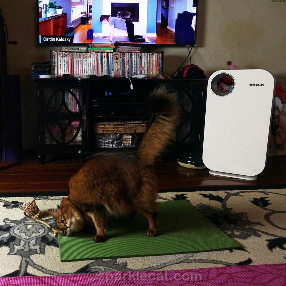 somali cat doing asanas during online yoga class
