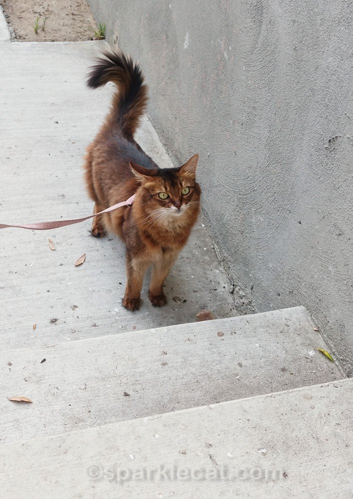 somali cat at the bottom of concrete stairs, looking up.