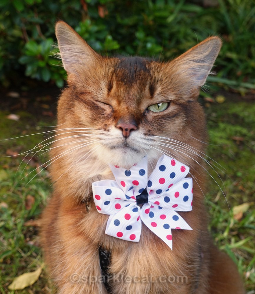 somali cat wearing a bow tie and winking