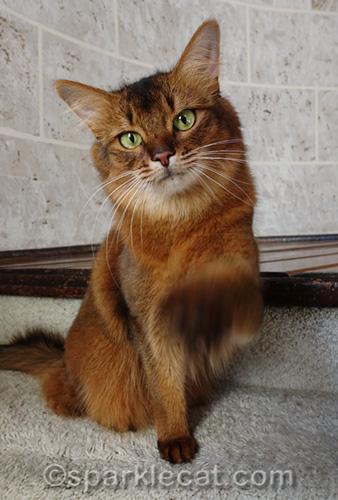 somali cat pointing at camera