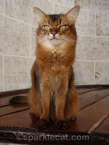 somali cat posing in house turret