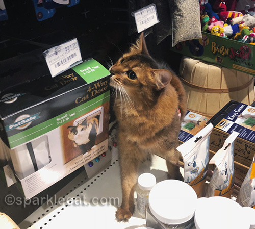 somali cat rubbing on cat door box at pet shop