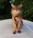 somali cat sitting on concrete table on a pretty spring afternoon