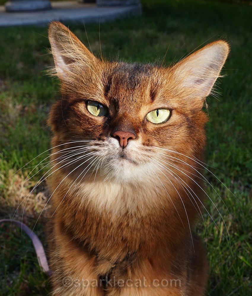 portrait of Somali cat outside