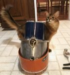 somali cat amazed by old garbage disposal