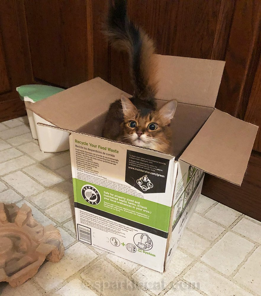 somali cat in garbage disposal box