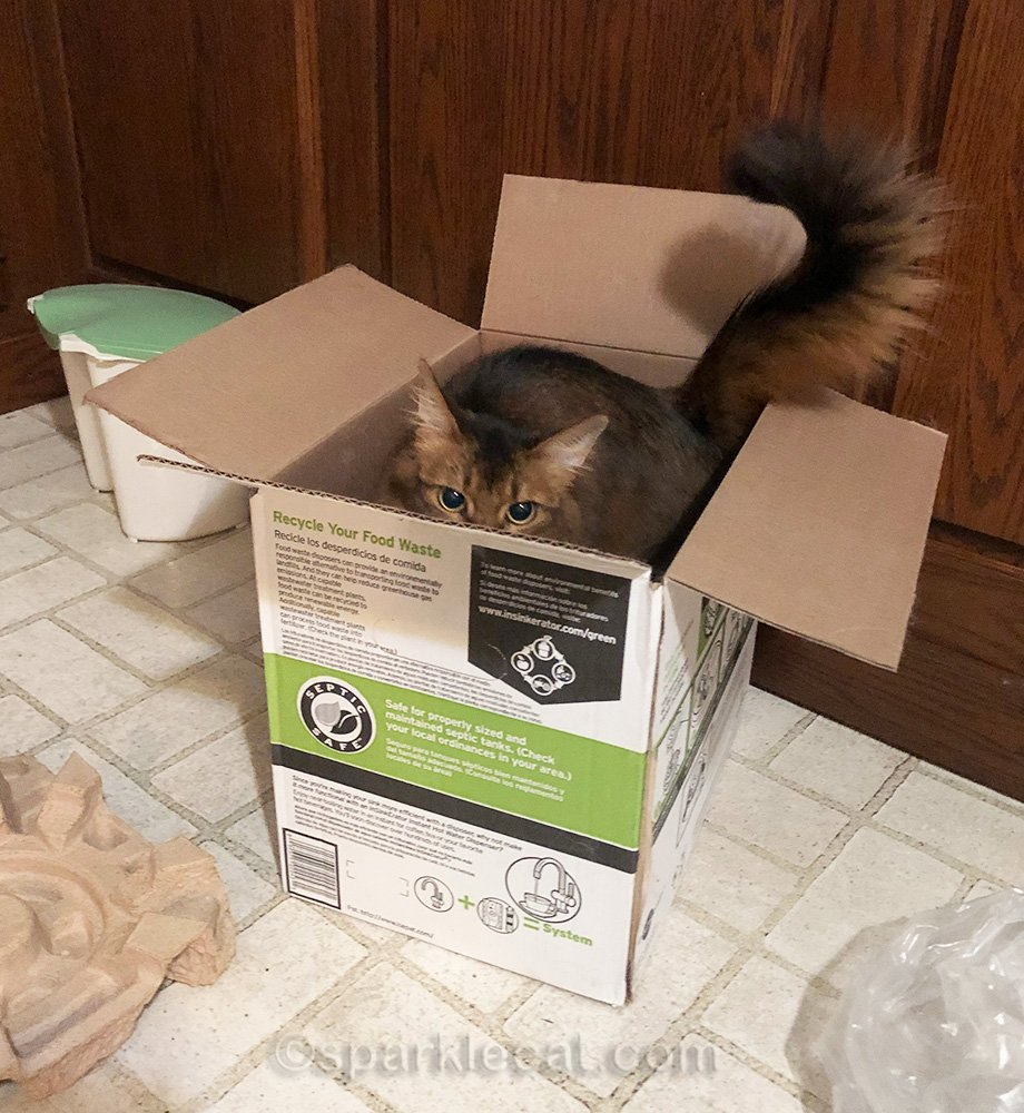 somali cat being playful in box