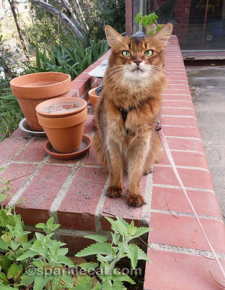 Summer's catnip garden needs some pruning! So of course she has to come outside and help her human with that.