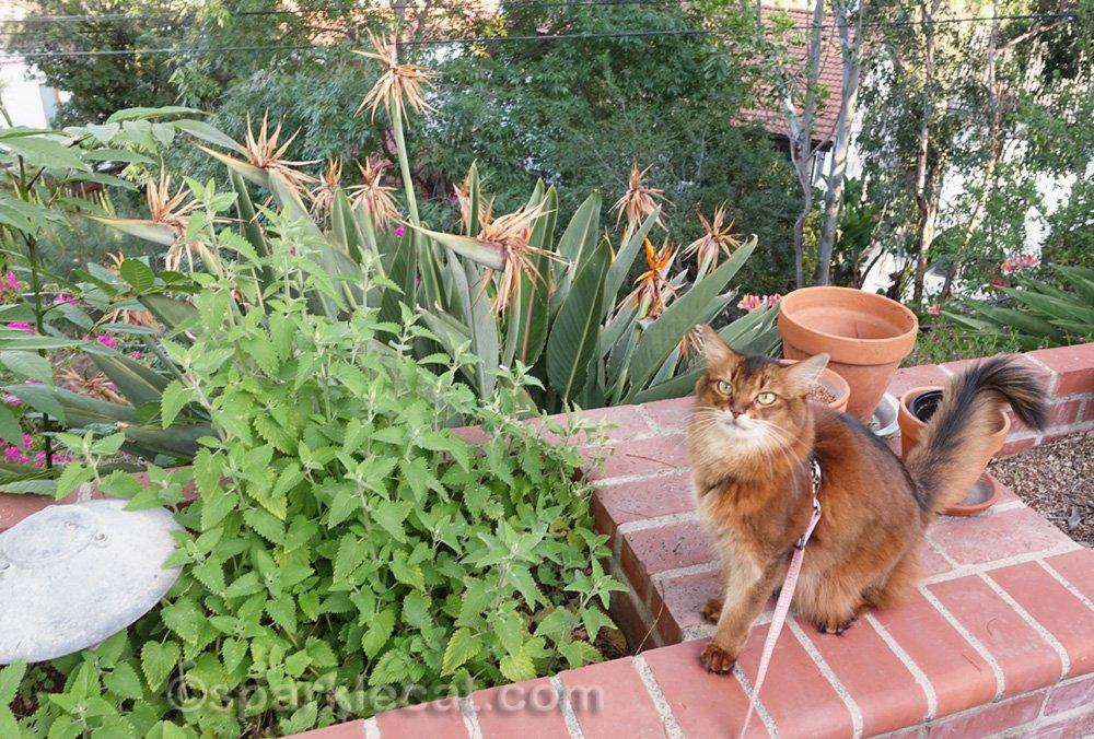 somali cat showing off how her catnip garden has grown