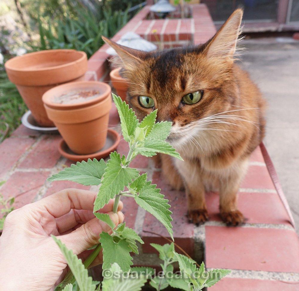 somali cat sniffing some catnip leaves