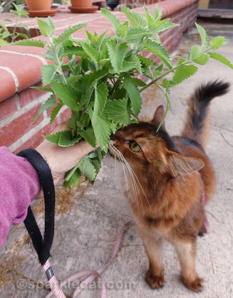 somali cat receiving a bouquet of catnip