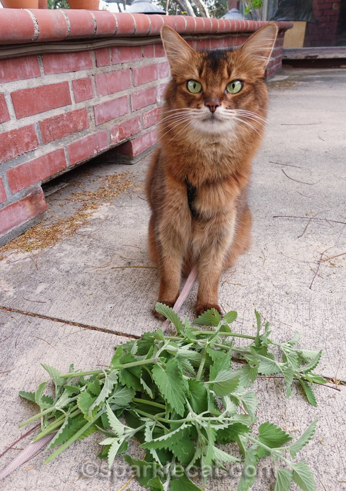 somali cat with pile of catnip cuttings