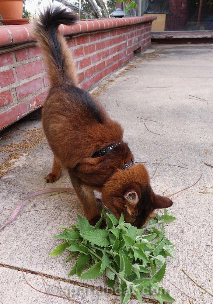 somali cat burying her face in a pile of fresh catnip