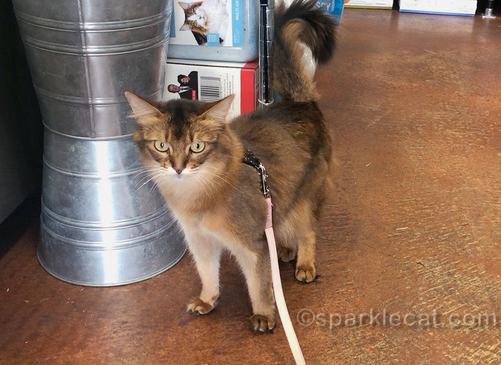 somali cat on leash at pet shop