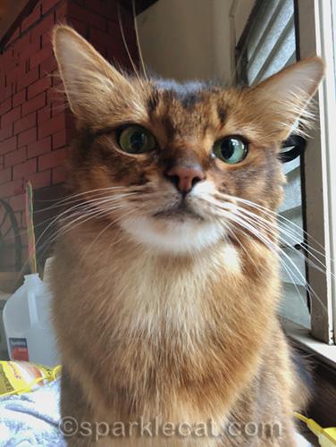 somali cat selfie