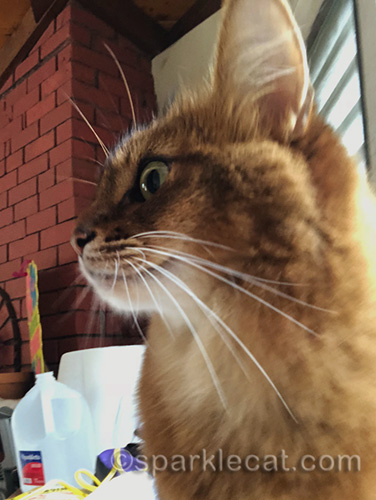 profile of somali cat selfie