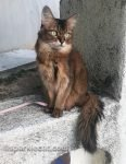 somali cat on ledge looking out