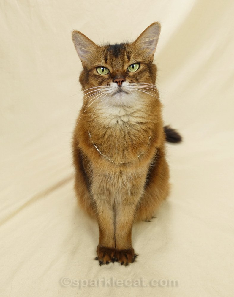 somali cat wearing an almost invisible strand of craft beads