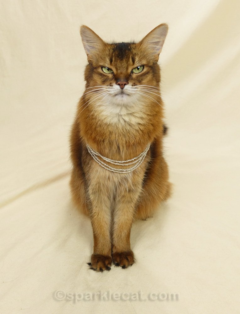 somali cat dubious about wearing craft beads as necklaces