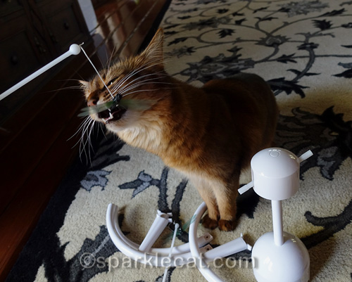 somali cat bites on the dragonfly from the PetSafe Flitter