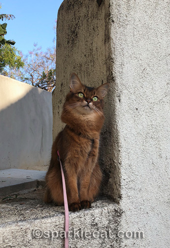 somali cat thinking about Memorial Day