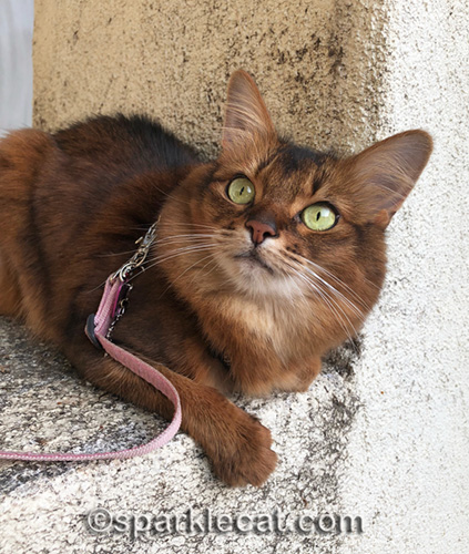 somali cat watching birds from stucco perch