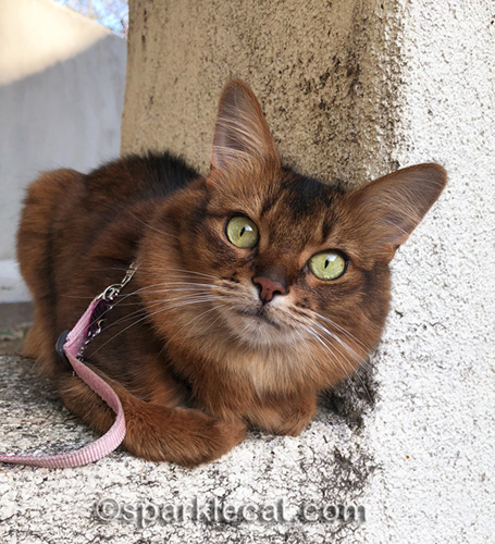somali cat looking right into the camera