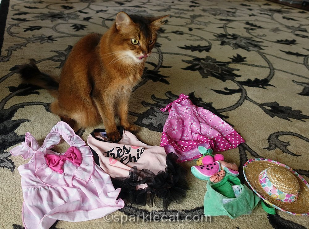 somali cat with tongue out looking at outfits