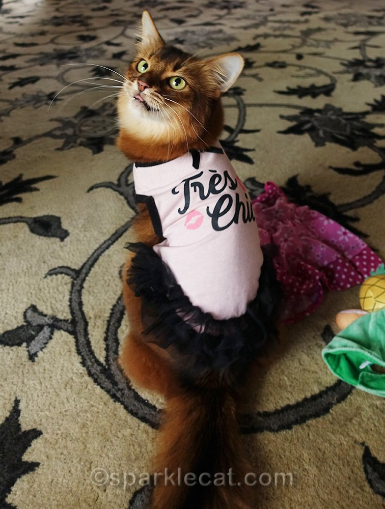 somali cat wearing tee shirt with tongue sticking out.