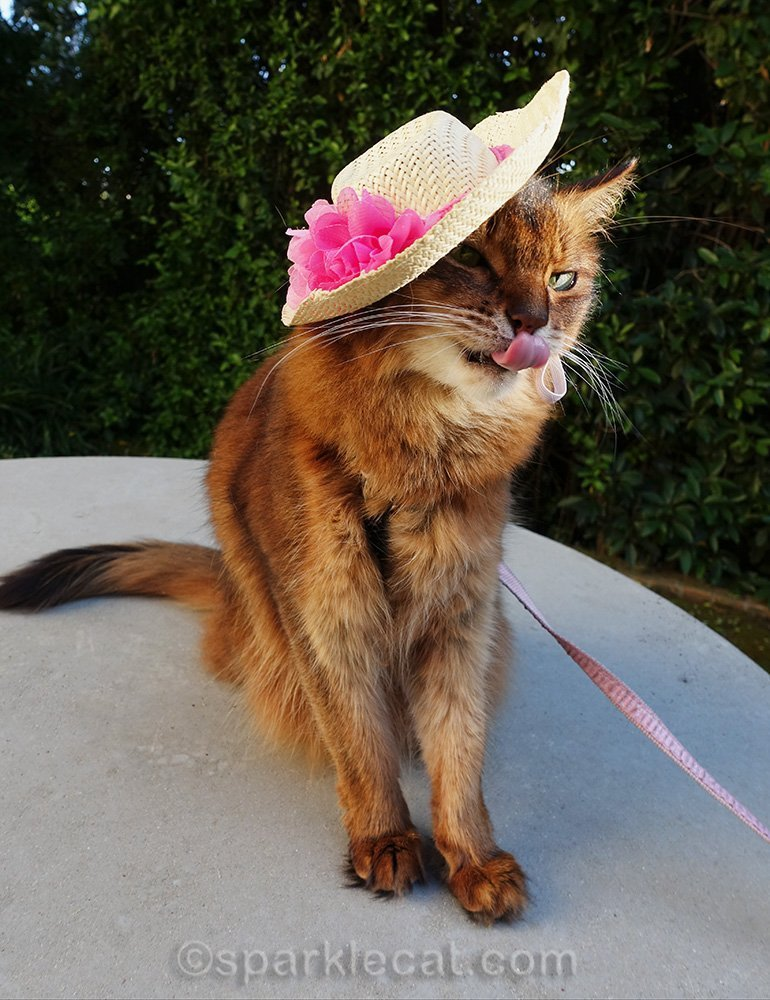 somali cat in hat with tongue out