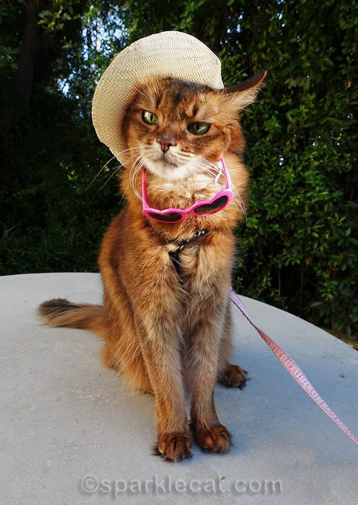 somali cat in hat, with sunglasses falling off
