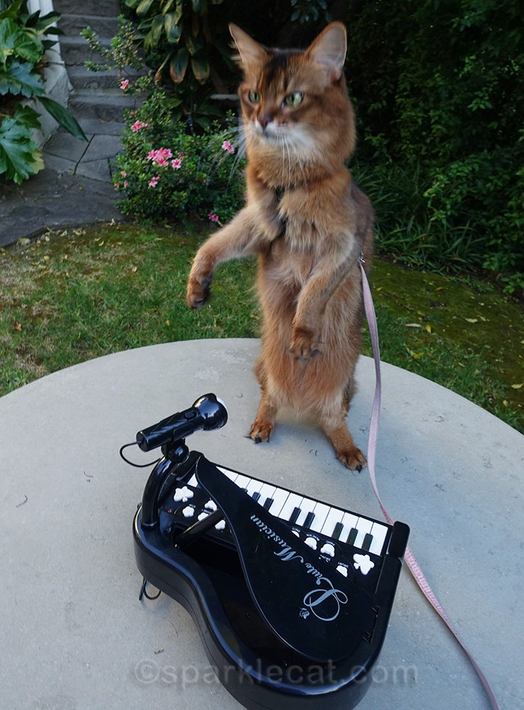 somali cat sitting up with piano
