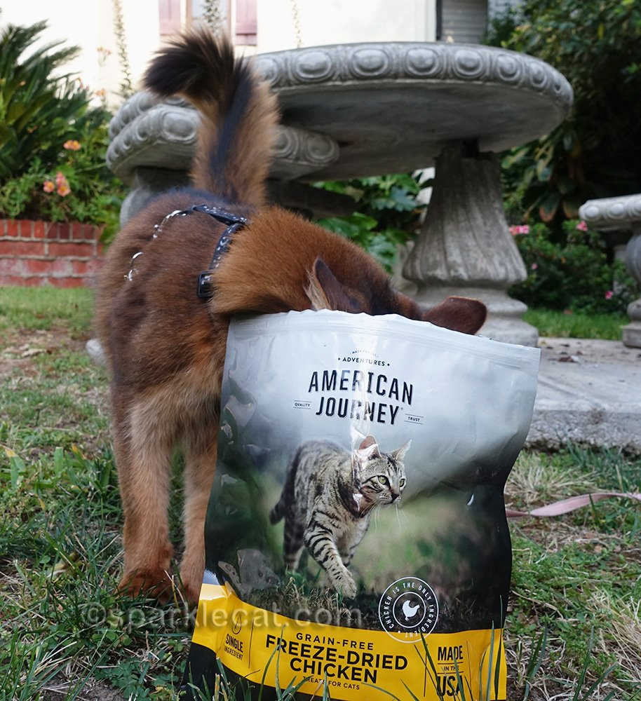 somali cat with head in treat bag