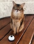 Summer forgets how to ring a bell, and has to do some remedial cat training practice in this short video.