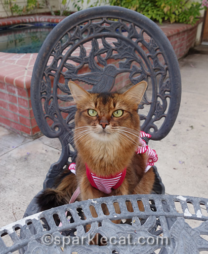 somali cat sitting at patio table for Memorial Day barbecue