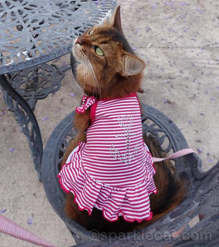 somali cat showing off fun summer dress