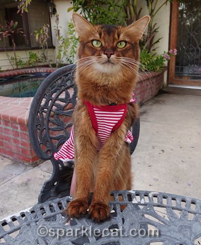 impatient somali cat waiting for barbecue