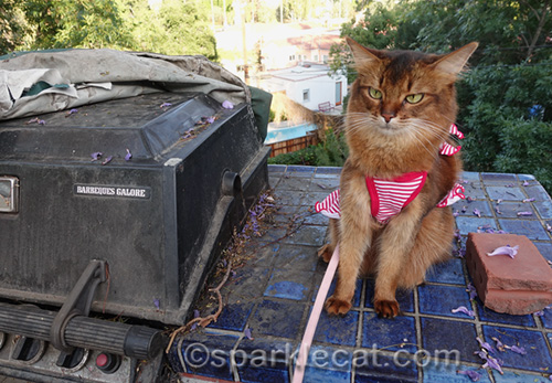 somali cat disappointed she is not getting any barbecue