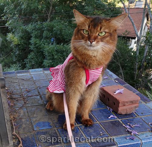 somali cat remembering for Memorial Day