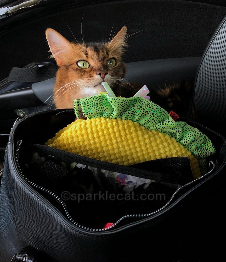 somali cat hoping not to be Taco Cat for her first movie role