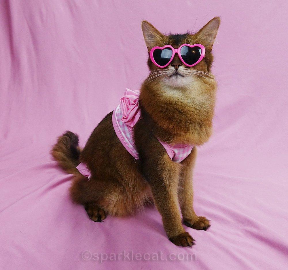 somali cat in a bikini and sunglasses