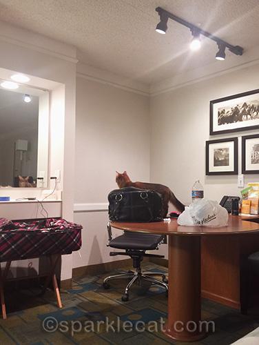 Somali cat examines hotel room