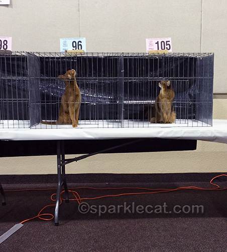 Abyssinian cat and Somali cat in judging cages, looking up