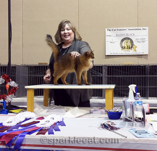 somali cat posing on the judging table