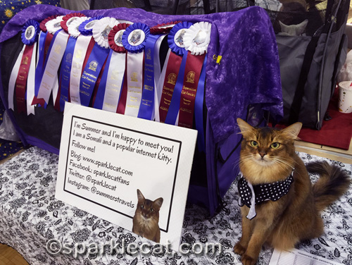 somali cat with her cat show ribbons