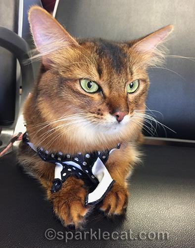 somali cat in seat in boarding area of Phoenix airport