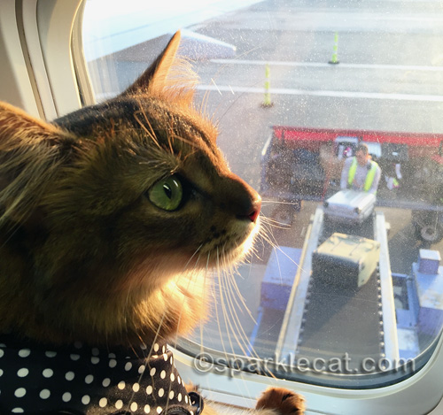 somali cat watching luggage coming out of the plane