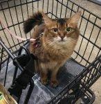 somali cat in shopping cart